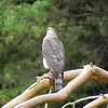 Hawk, Cooper's, juvenile -photo 2
