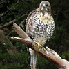 Hawk, Red-tailed -photo 7