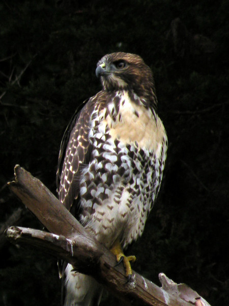 Red-tailed Hawk?