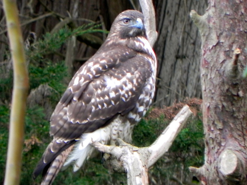 Hawk, Red-tailed -photo 5