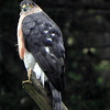Hawk, Sharp-shinned  (note blue-gray upperparts and long banded tail)