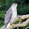 Hawk, Cooper's, juvenile, molting into adult plumage