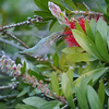 Hummingbird, Anna's -photo 9