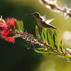 Hummingbird, Anna's -photo 10