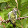 Hummingbird, Anna's -photo 2