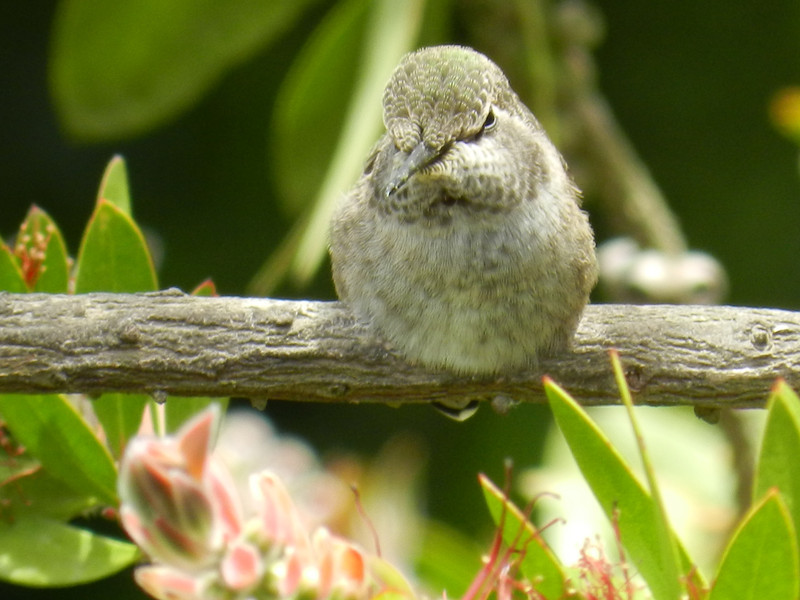 Hummingbird, Anna's -photo 1