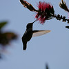 Hummingbird, Anna's -photo 11