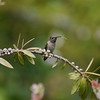 Hummingbird, Anna's -photo 5
