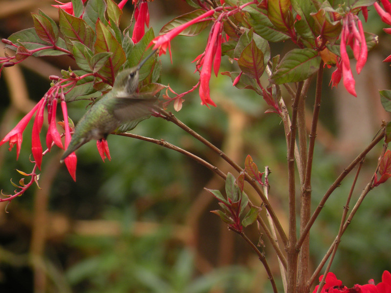 Hummingbird, Anna's -photo 12