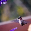 Anna's Hummingbird shows off