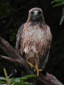 Hawk, Red-tailed -photo 3