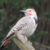 Northern Flicker -photo 3