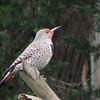 Northern Flicker -photo 2