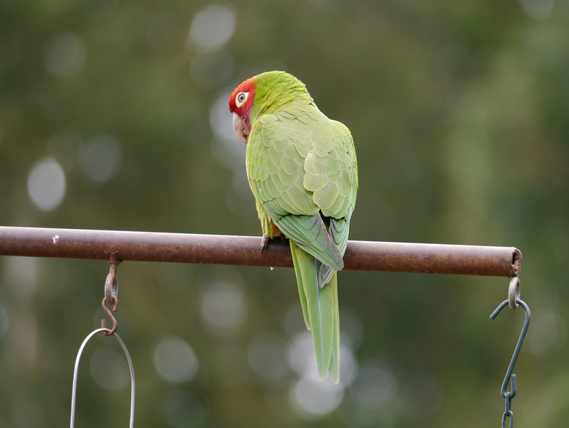 Parakeet, Red-masked -photo 2