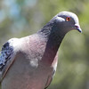 Pigeon, Rock photo 5