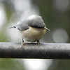 Pygmy Nuthatch -photo 1