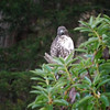 Hawk, Red-tailed -photo 1