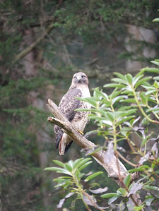 Hawk, Red-tailed -photo 4