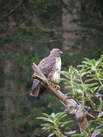 hawk, red-tailed 2