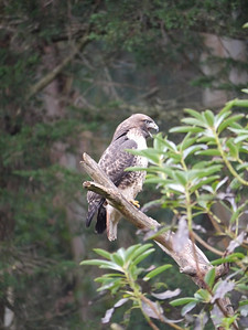 Hawk, Red-tailed -photo 2