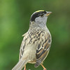 Sparrow, Golden-crowned -photo 1