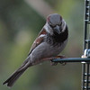Sparrow, House, male -photo 2