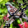 Sparrow, House, male -photo 1