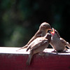 Sparrow, House -photo 1