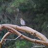 Thrush, Varied -photo 2