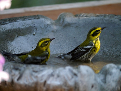 Townsend's Warblers, distracted and/or posing