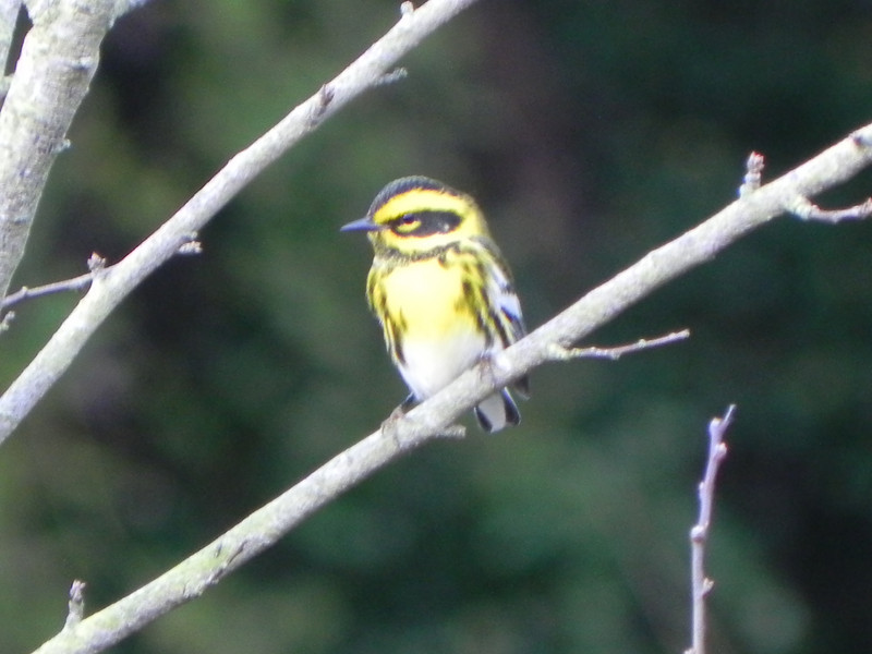 Warbler, Townsend's photo 4