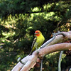 Western Tanager, male -photo 2