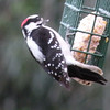 Woodpecker, Downy, male -photo 2