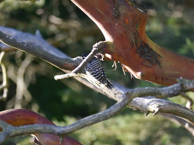 Woodpecker, Nuttall's -photo 2
