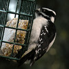 Woodpecker, Downy, male -photo 4