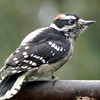 Woodpecker, Downy, male -photo 1