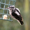 Woodpecker, Downy, female