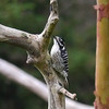 Woodpecker, Nuttall's -photo 1