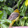 Hooded Oriole, juvenile male -photo 2