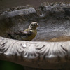 goldfinch, lesser, juvenile, female