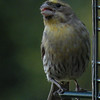 "Finch, House (a ""fairly rare"" variant) -photo 2"
