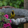 Hooded Oriole, juvenile male -photo 1