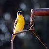 Goldfinch, Lesser -photo 4