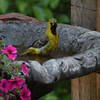 Hooded Oriole, young male