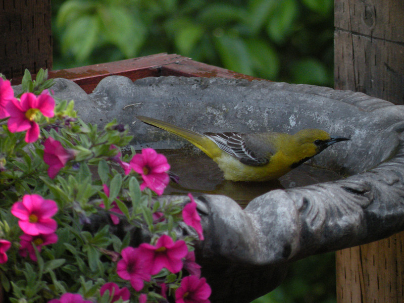 Hooded Oriole, juvenile male -photo 3