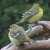 Western Tanager, females
