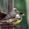 Goldfinch, Lesser -photo 5