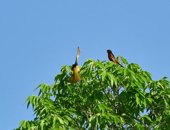 Orchard Orioles. Female landing, male commenting