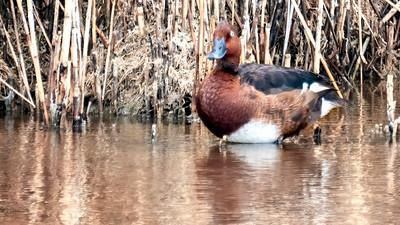 Moorente  a rare breeding Ferroginous Duck