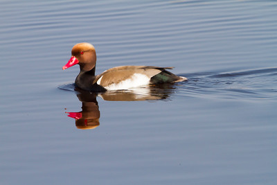 Kolbenente (Red Crested Pochard - Netta rufina)